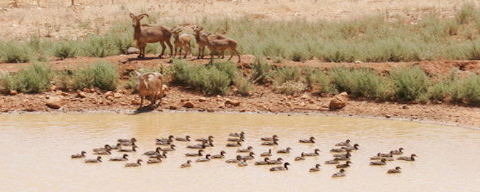 Deer and Ducks in Lebanon