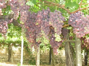 Bunches of grapes hang from a pergola amidst green leaves in a vineyard Zahlé